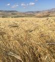 Khorasan wheat in four episodes